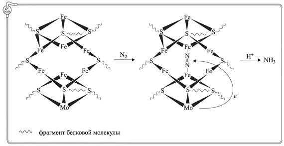 Рис. 2. Схема фиксации молекулы азота каталитическими центрами нитрогеназы.
